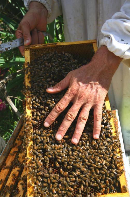 Frank connaît ses abeilles et elles le connaissent. Le visiteur évitera, en revanche, ce genre de prise de risques !