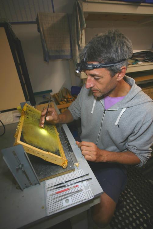 Frank au travail, en train de prélever des œufs tout juste éclos pour les installer dans une pouponnière spéciale : les larves donneront naissance non pas à des ouvrières, mais à des reines.