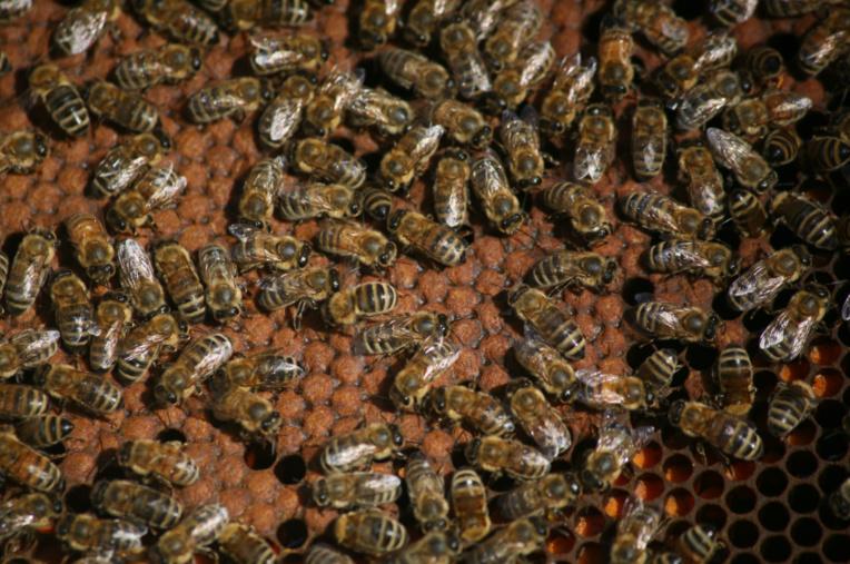 Les abeilles sont nées pour travailler : pas de grève, pas de tire-au-flanc, pas de grogne, pas de retraite, elles sont là pour servir la reine, de leur naissance à leur mort.