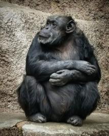 Argentine: Cécilia, un chimpanzé déprimé, recouvre la liberté