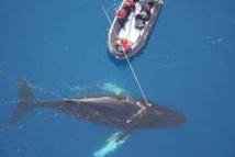 La vie secrète des baleines révélée par des caméras sur leur peau