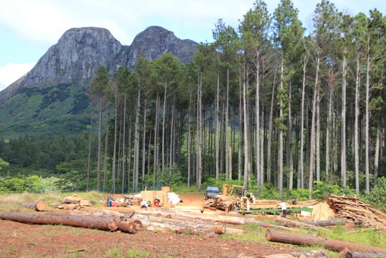 A Tubuai, on recense 170 hectares de pins des caraïbes. Il s'agit d'un gisement estimé de 25 500 m3 en bois de sciage et, potentiellement, une capacité de production annuelle de 850 m3 en bois d'œuvre pour la SAS Tubuai Bois.