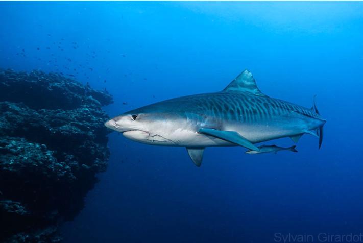 Requin tigre. Photo Sylvain Girardot