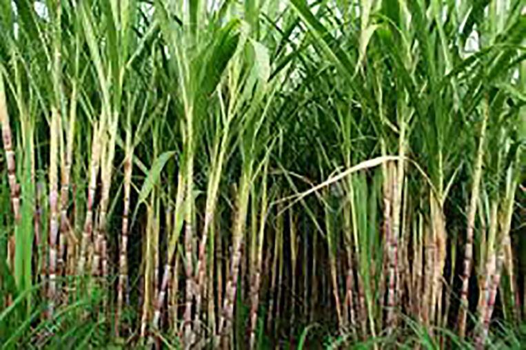Outre-mer: aide 38 millions d'euros pour les entreprises sucrières