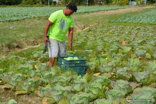 """""""Sur une superficie de quatre hectares, j'ai planté 120 000 pieds de choux pour une récolte de 80 tonnes. Je les ai laissés en terre pendant deux mois. Normalement, les choux, on les coupe deux mois et 20 jours après. En deux mois, ils sont gros mais légers, et si on les laisse encore 15 jours, ils prendront du poids"""", explique Taina Viriamu."""