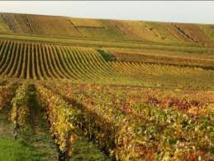 Des viticulteurs vont planter des vignes résistantes au mildiou et à l'oïdium