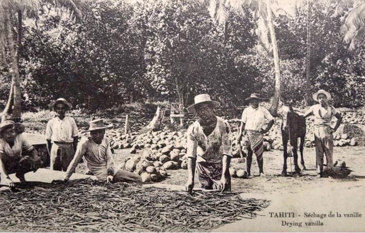 Séchage de la vanille aux Iles-Sous-Le-Vent ou à Moorea. Vers 1920.