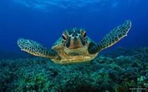 Médicaments et herbicides dans le sang des tortues de la Grande barrière