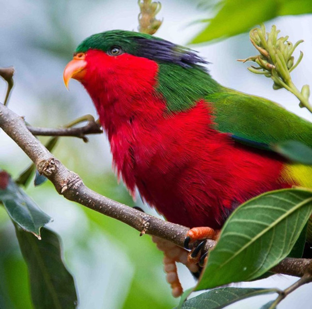 Perruche colorée de Rimatara - Tahiti infos