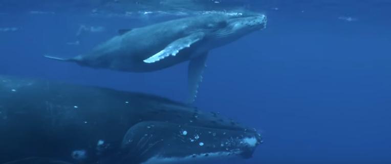 Après un premier opus appelant à la protection des tortues, Pheal'N a réalisé cette fois un clip en l'honneur des baleines.