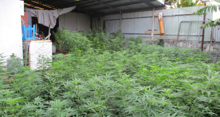 406 plants de cannabis découverts à Punaauia