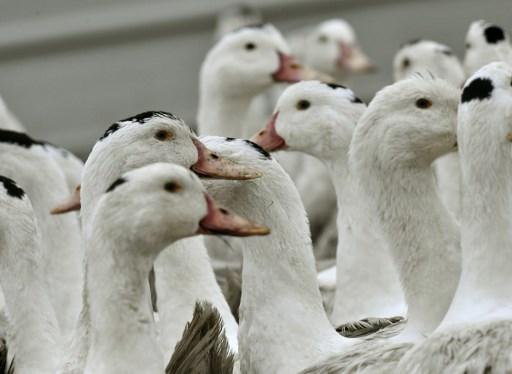 """Crise aviaire: 2017 à un niveau """"historiquement bas"""" pour le foie gras en France et en Europe (Cifog)"""