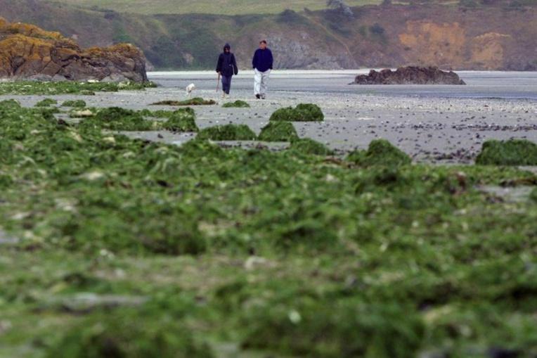 Une plage recouverte d'algues vertes, le 16 septembre 2001 près de Saint-Brieuc. La prolifération de ces algues serait due à la pollution des eaux par les nitrates (archives) Crédit : AFP / FRED TANNEAU