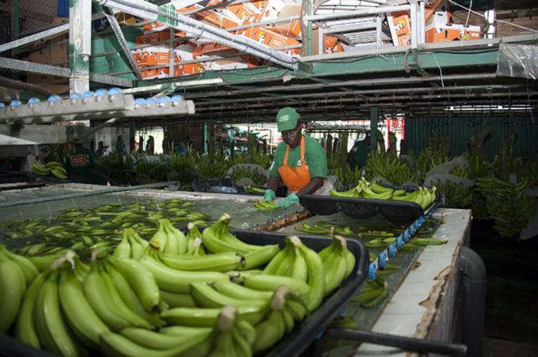 Guadeloupe : reprise du travail lundi dans la filière banane