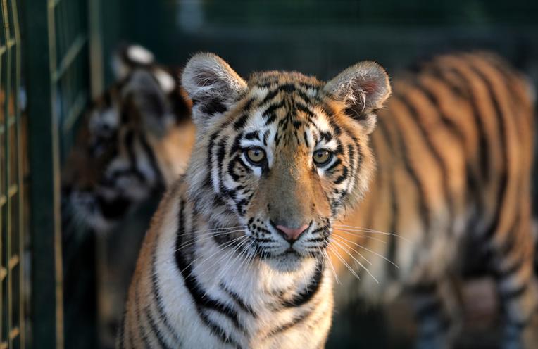 Nouvelle vie en France pour trois tigres secourus au Liban