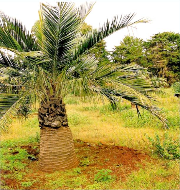 Un jeune palmier du Chili planté au centre de l'île de Pâques.