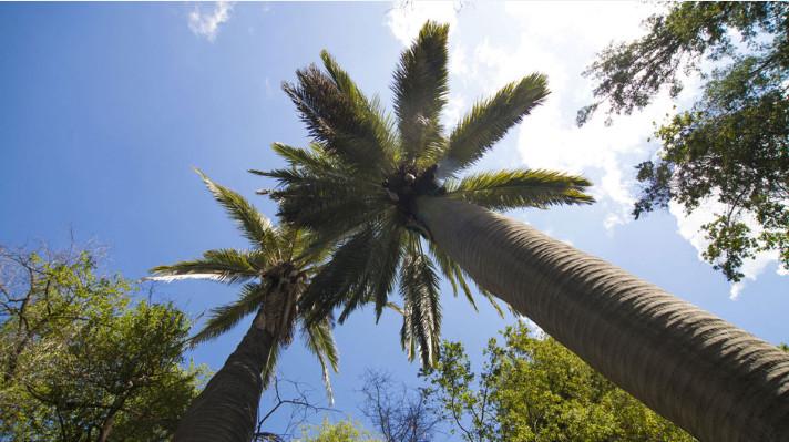 Le palmier du Chili, comme c'était le cas de celui de l'île de Pâques, peut dépasser vingt-cinq mètres de hauteur.