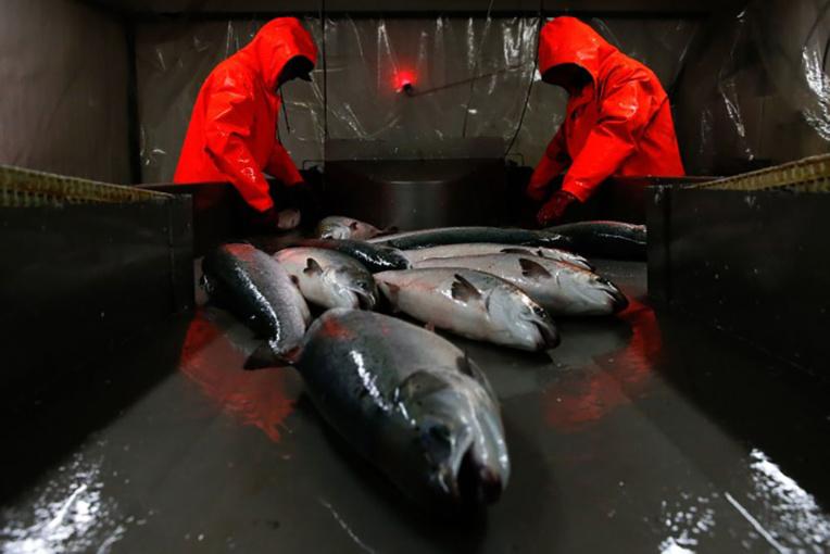 Du saumon transgénique vendu au Canada inquiète les écologistes