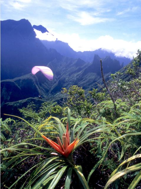 Une splendide Freycinetia impavida observe, impassible, le vol d'un parapentiste. Famille des Pandanaceae. En arrière plan, l'Aorai (2 066 m) et le sommet double de l'Orohena (2 241 m) dans le lointain.