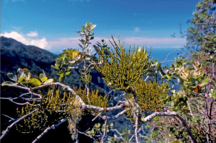 """Korthalsella aoraiensis est, en quelque sorte, un """"gui"""" polynésien.  Famille des Santalaceae."""