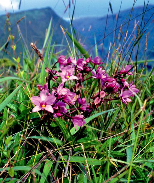 La petite orchidée palmier, Spathoglottis plicata, est omniprésente dans les montagnes de Tahiti. Famille des Orchidaceae.