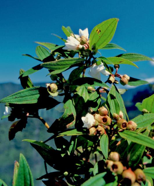 Melastoma malabathricum, une belle fleur, certes, mais malheureusement envahissante. Famille des Melastomataceae.
