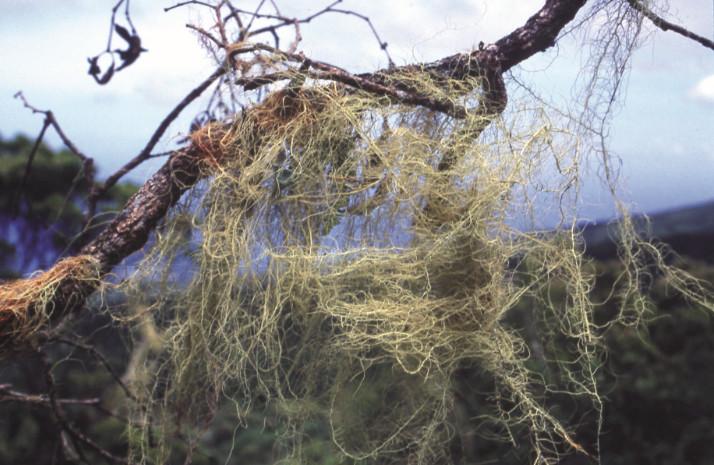 L'humidité à cette altitude permet à de multiples lichens de proliférer sur les arbres et les branches mortes.