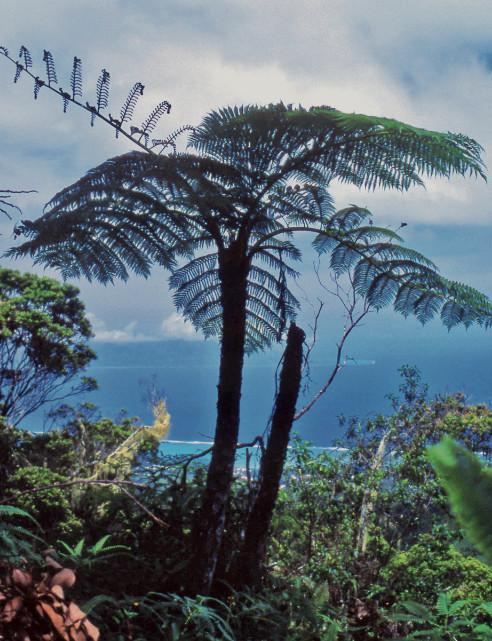 Les fougères arborescentes sont protégées. Il est interdit de les couper (Cyathea affinis). Famille des Cyatheaceae.