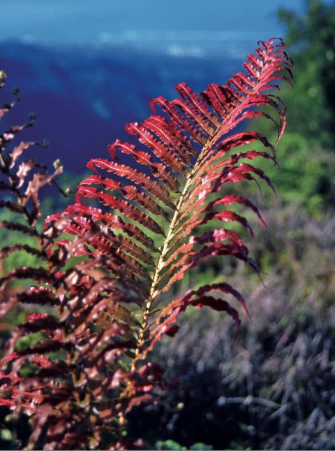 Une très belle fougère aux reflets rouges (Blechnum sp.). Inutile et stupide d'essayer d'en ramener pour vos jardins. Famille des Blechnaceae.