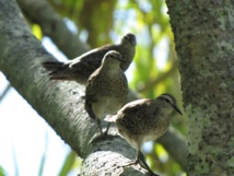 Des chevaliers des Tuamotu © Steve Cranwell
