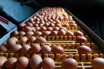 L'Espagne découvre à son tour des ovoproduits contaminés au fipronil
