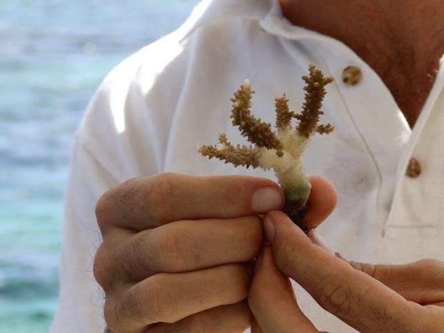 Cette jeune colonie de corail a trouvé une nouvelle maison