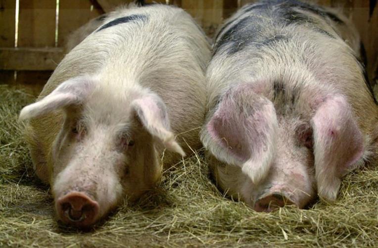 Des cochons, sauvés par les pompiers, finissent sur leur barbecue