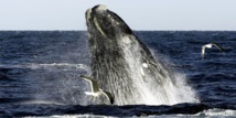 Pic de mortalité chez les baleines franches : le Canada et les Etats-Unis enquêtent