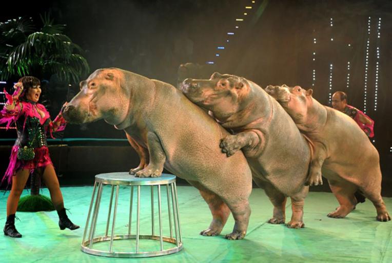 Photo d'illustration d'un numéro de cirque d'hippopotames.
