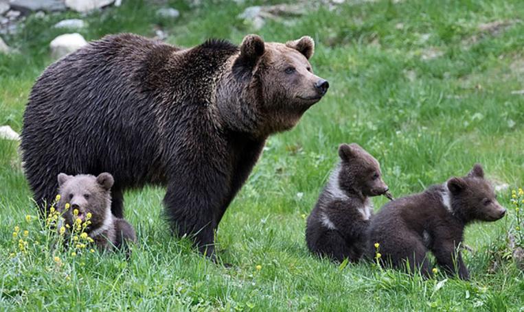 Ours dans les Pyrénées: enquête après l'agression de quatre agents publics en Ariège