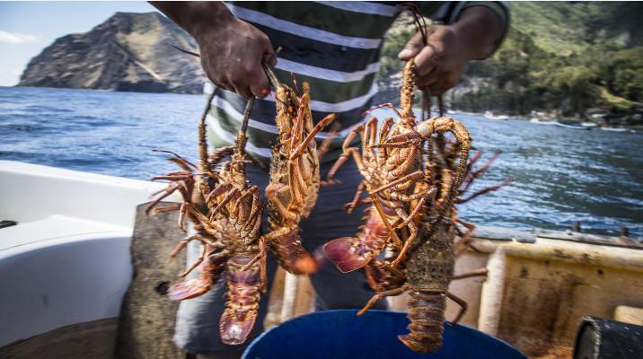 La langouste, depuis deux décennies, est la première ressource de l'île. Il s'agit d'une espèce endémique, baptisée Jasus frontalis.