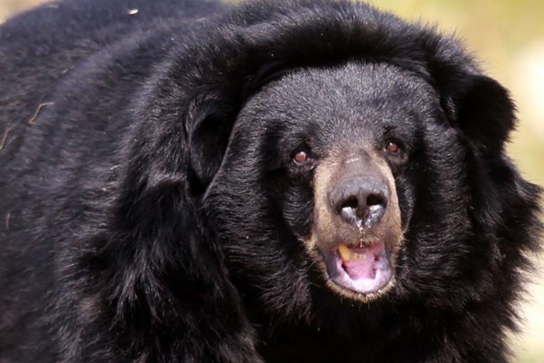 Canada: un ours attaque un chasseur à l'arc dans un arbre