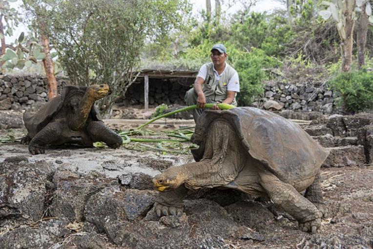 Au Galapagos, un programme de reproduction pour des tortues éteintes