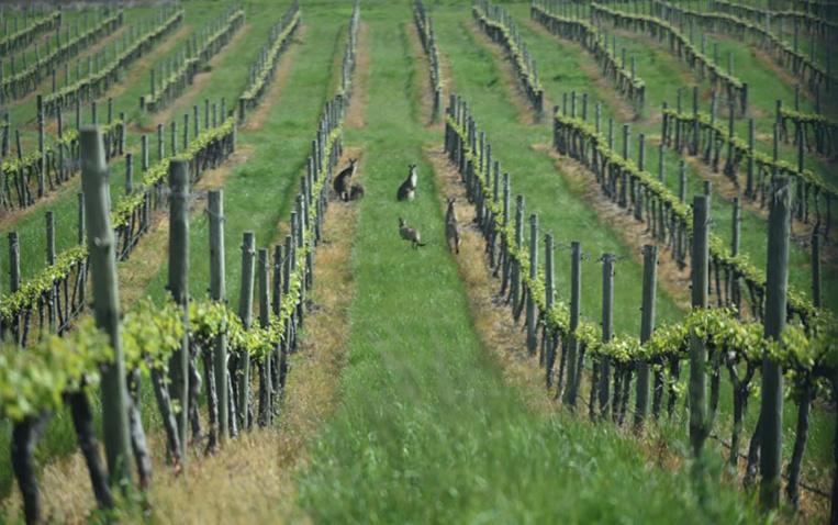 Le vin australien séduit de nouveau à l'étranger et attire les touristes