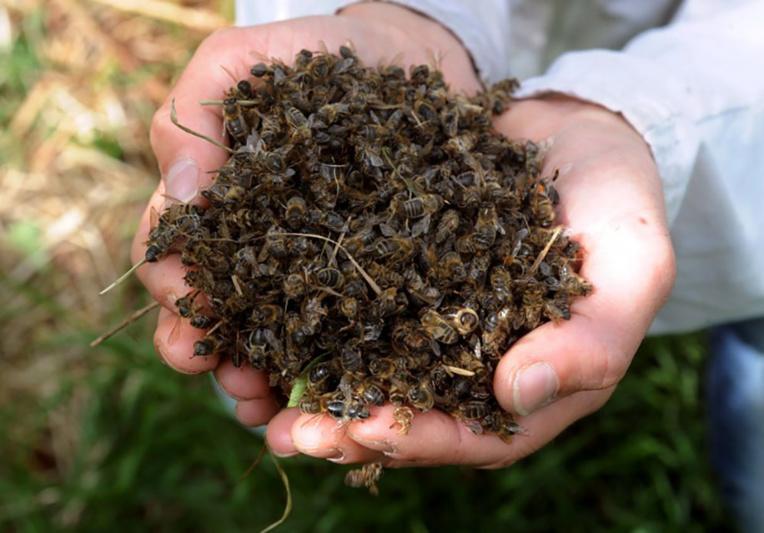 Uruguay: le fipronil, à l'origine du scandale des oeufs en UE, décime des abeilles
