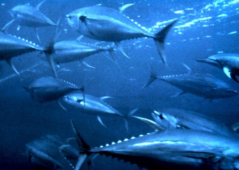 Des thons albacore (yellowfin tuna), une ressource précieuse encore abondante en Polynésie. (crédit photo : OAR/National Undersea Research Program)