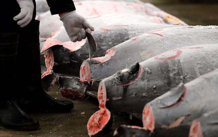 Thon rouge: les ONG s'alarment d'une éventuelle forte hausse des quotas de pêche