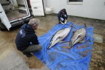 La préfecture veut une enquête après l'échouage de dauphins dans le Var