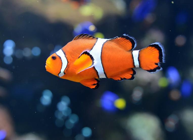 """Climat: """"Nemo"""", stressé par le blanchiment de son anémone, pond moins"""