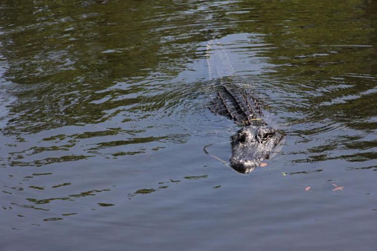 Australie: des restes humains retrouvés dans un crocodile