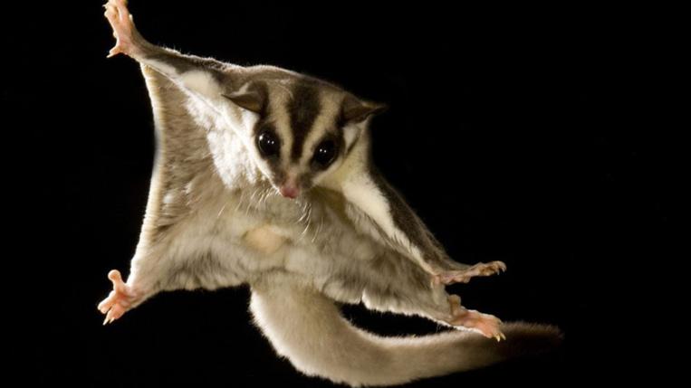 Australie: une perruche menacée par un marsupial volant