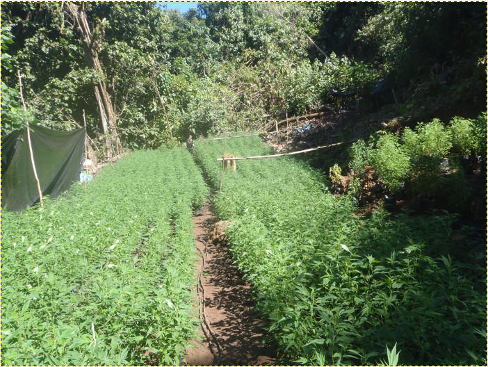 Plus de 4 600 pieds de cannabis ont été découverts vendredi dernier à Papara.