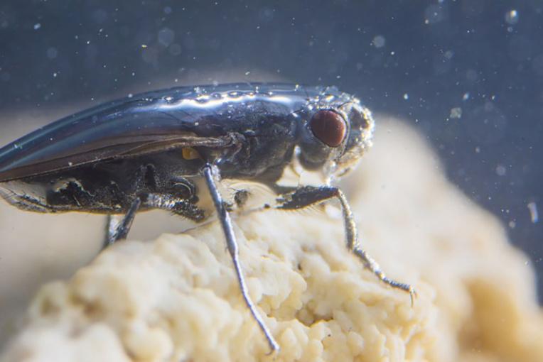 Le mystère des mouches plongeuses du lac Mono? Un scaphandre d'air