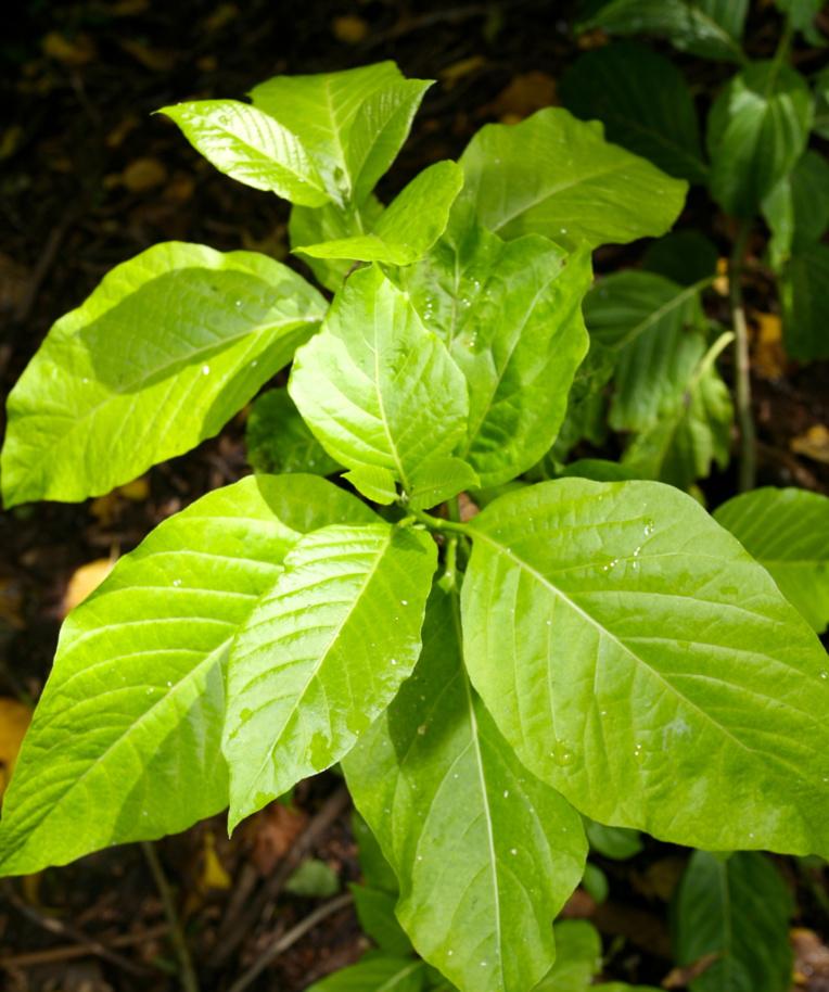 Gros plan sur des feuilles de « gatae » qui se consomment, quand elles sont encore jeunes et tendres, comme des épinards.